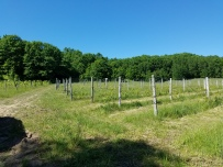 Rows of Cabernet.